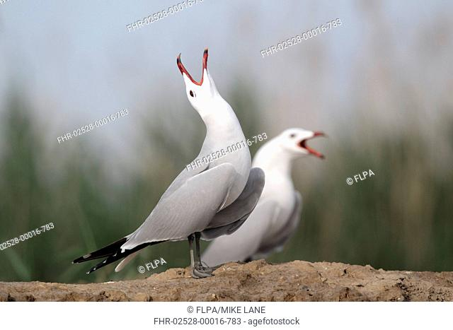 Audouins Gull Larus audouinii two adults, summer plumage, calling, standing on beach, Western Spain, april