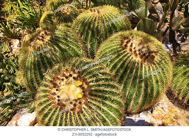 Yellow Flowering Golden Barrel cactus of central Mexico