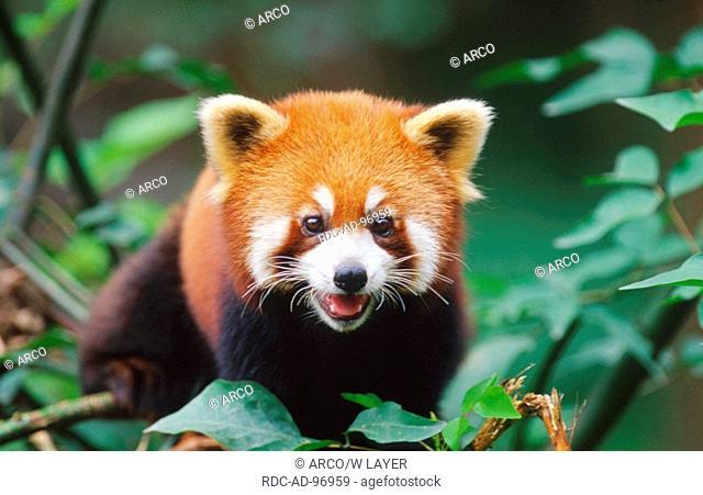 Red Panda China Ailurus fulgens
