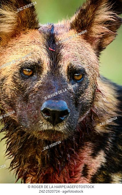 African wild dog (Lycaon pictus), It's is also called the African hunting dog, Cape hunting dog, painted dog, painted wolf, painted hunting dog, spotted dog
