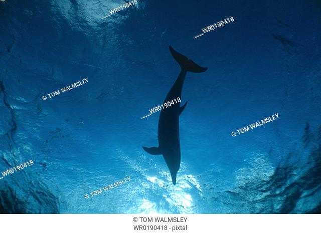 Atlantic Spotted dolphin Stenella frontalis underwater, watching a diver from above Bimini, Bahamas