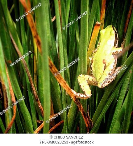A frog perches on the grass in Peña de Bernal, Queretaro, Mexico