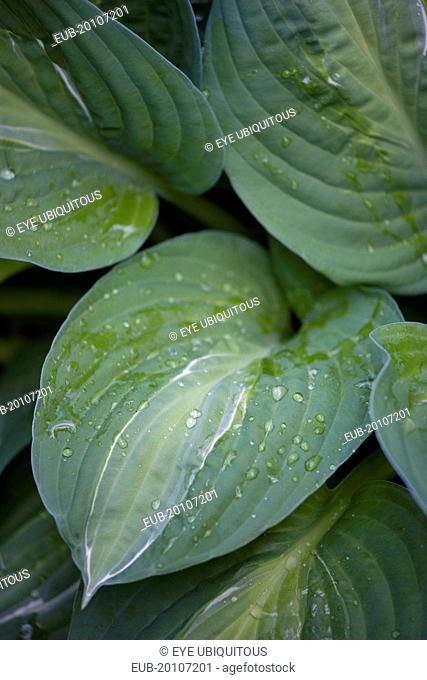 Green foliage with white strip giving the plant its name and water droplets on the leaves