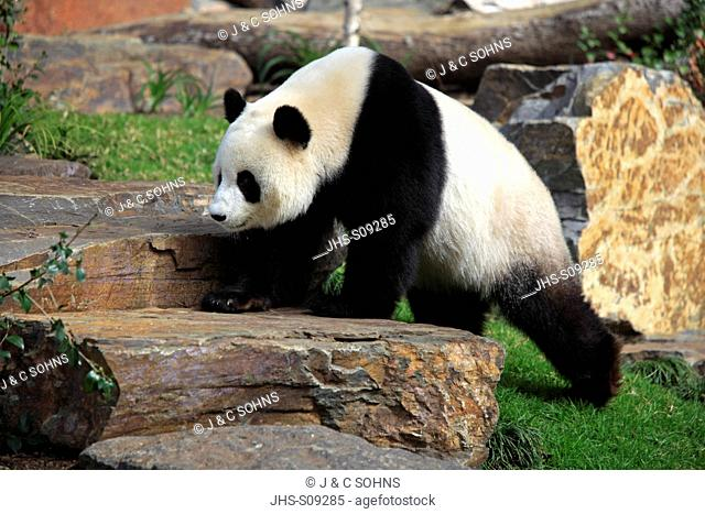 Giant Panda,Ailuropoda melanoleuca,Adelaide Zoo,South Austalia,Australia,adult walking