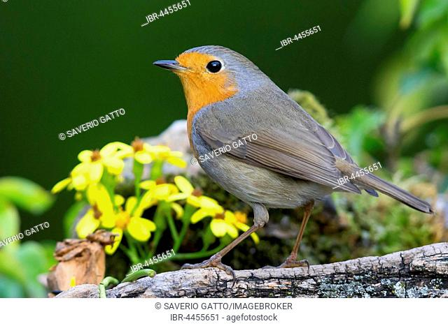 European Robin (Erithacus rubecula), adult standing on a piece of wood, Campania, Italy