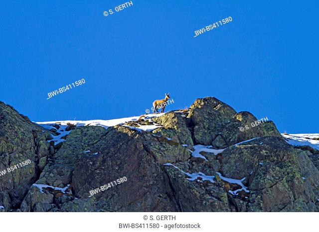 chamois (Rupicapra rupicapra), with only a single horn stands on a snowy ridge, Switzerland, Grisons, Fluelapass