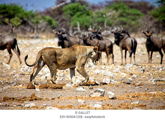a lioness in front of wildebeest at etosha national park namibia africa