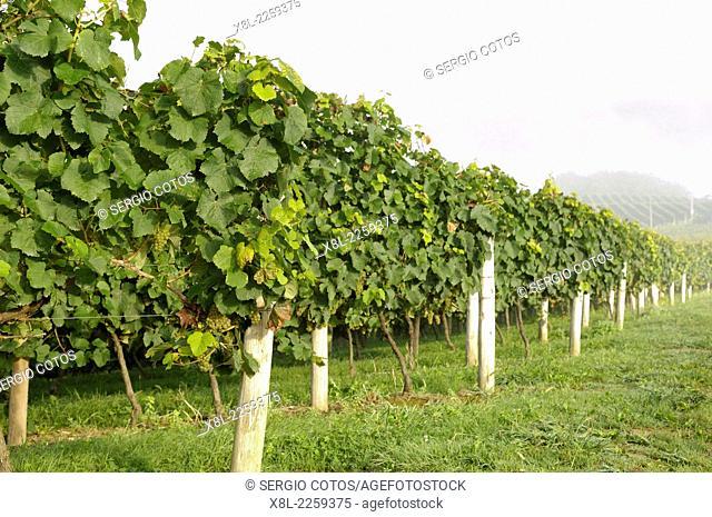 Txakoli vineyards in Guetaria, Basque Country, Guipúzcoa, Spain