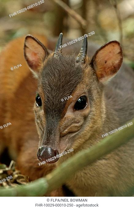Zimbabwe Blue Duiker (Philantomba monticola bicolor) adult, close-up of head, Dlinza Forest Nature Reserve, Eshowe, Zululand, KwaZulu-Natal, South Africa