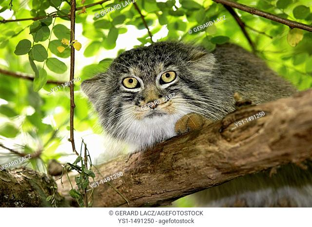 Manul or Pallas's Cat, otocolobus manul, Adult standing on Branch