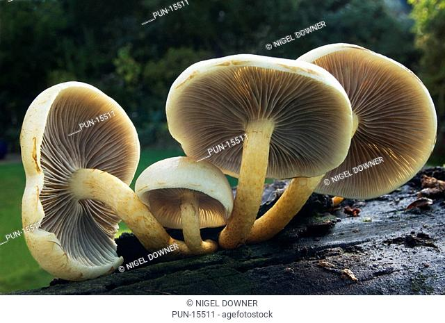 A wide-angle view of a group of sulphur tuft fungi Hypholoma fasciculare showing the inrolled caps and gill structure Growing on a rotting tree stump in a...
