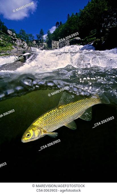 Freshwater Rivers. Chub (Leuciscus carolitertii). Rio Barosa. Galicia. Spain. Europe