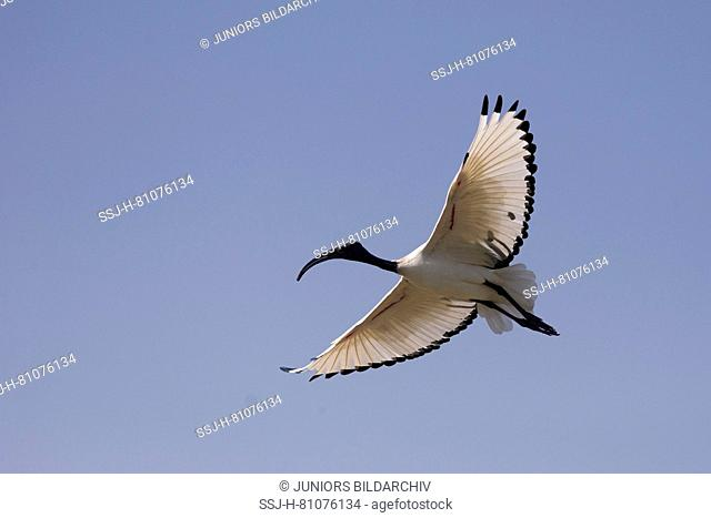 Sacred Ibis (Threskiornis aethiopicus) in flight. Ziway Lake, Ethiopia
