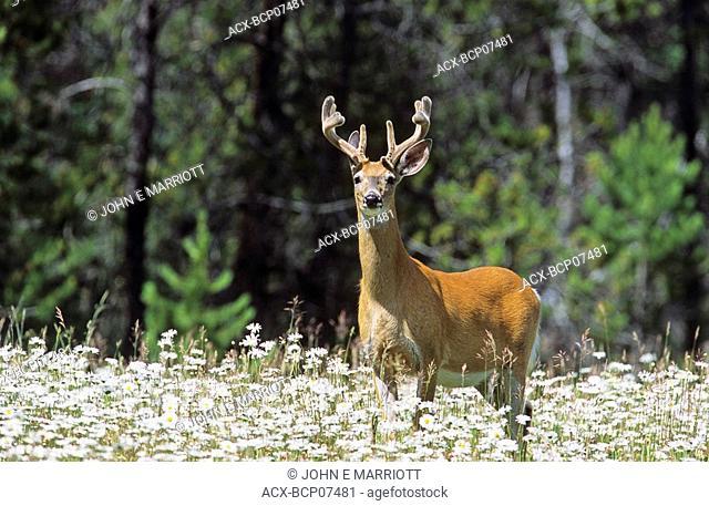 White-tailed deer buck in wildflowers, Kootenay National Park, British Columbia, Canada