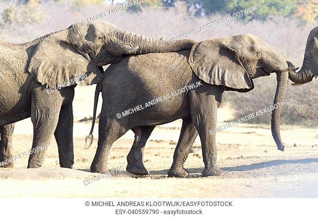 African elephants (loxodonta africana) cuddling, nature reserve in Namibia