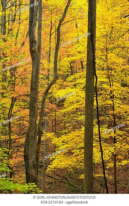 Autumn colour in the hardwood forest near Sugarlands, Great Smoky Mountains NP, Tennessee, USA