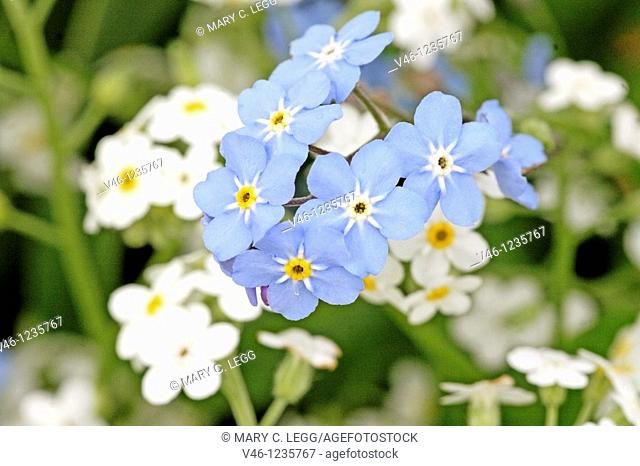 White and blue Forget-me-not in a garden  Myosotis makes excellent ground cover for planted bulbs in a garden with its delicate five-lobbed flower