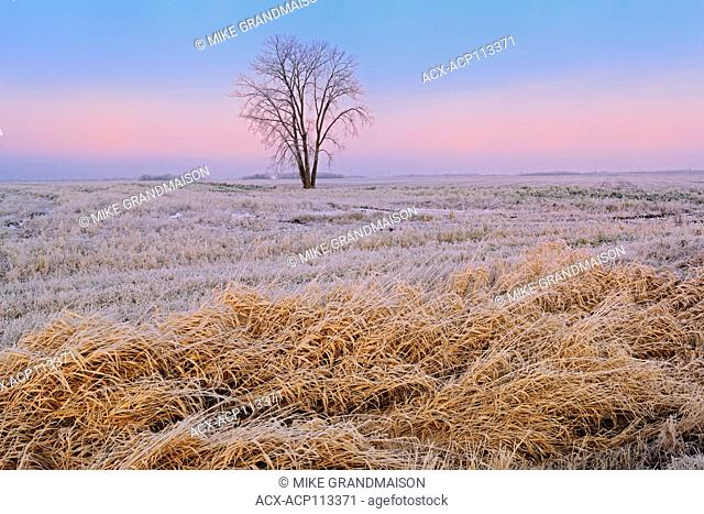 Plains cottonwood (Populus deltoides) in hoarfrost covered farmer's field, Dugald, Manitoba, Canada