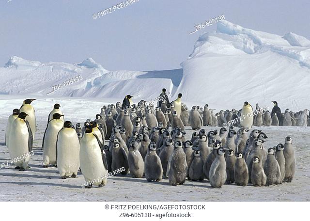 Emperor penguin (Aptenodytes forsteri) after snowstorm, Dawson-Lambton glacier, Antarctica, December
