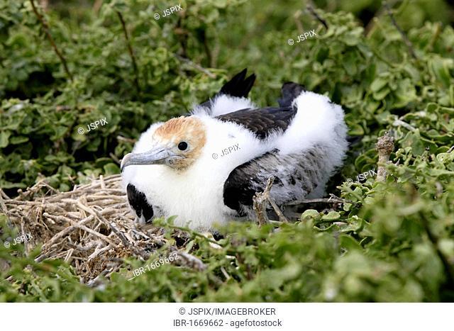 Great Frigatebird (Fregata minor), fledgling on a nest, Galapagos Islands, Pacific Ocean