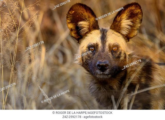 African wild dog, African hunting dog, African painted dog, cape hunting dog, wild dog or painted wolf (Lycaon pictus). Madikwe Game Reserve