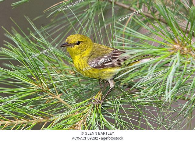 A Pine Warbler Dendroica pinus at Long Point in Ontario, Canada