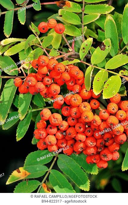 European Rowan (Sorbus aucuparia) fruits. Osseja, Languedoc-Roussillon, Pyrenees Orientales, France