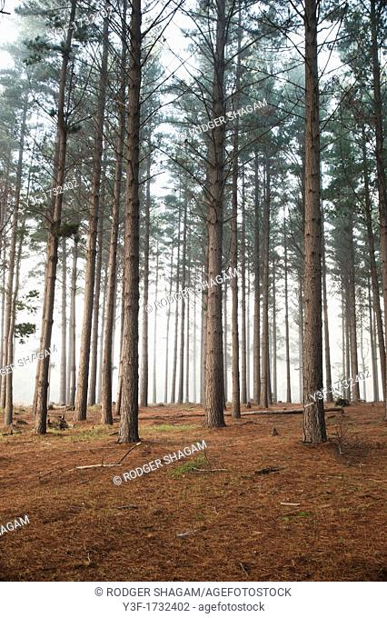 A pine tree plantation in the early morning mist