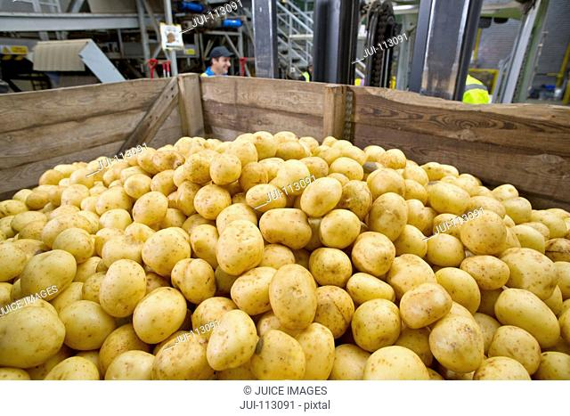 Close up bin of fresh harvested potatoes