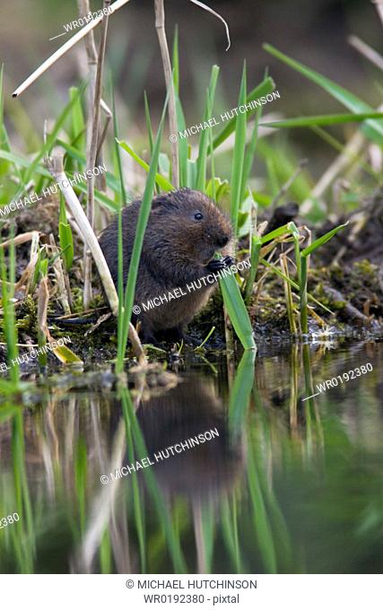 Bank vole Clethrionomys glareolus nibbling grass held with forefeet at water's edge, Derbyshire, UK
