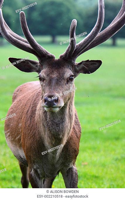 Red Deer stag Cervas elaphus