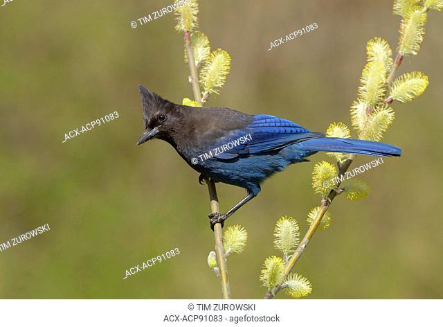 Steller's Jay (Cyanocitta stelleri)