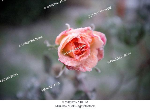 Rose blossom variety 'James Galway' in the snow