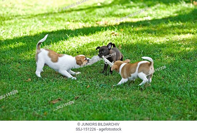 three half breed dog puppies - playing on meadow restrictions: animal guidebooks, calendars