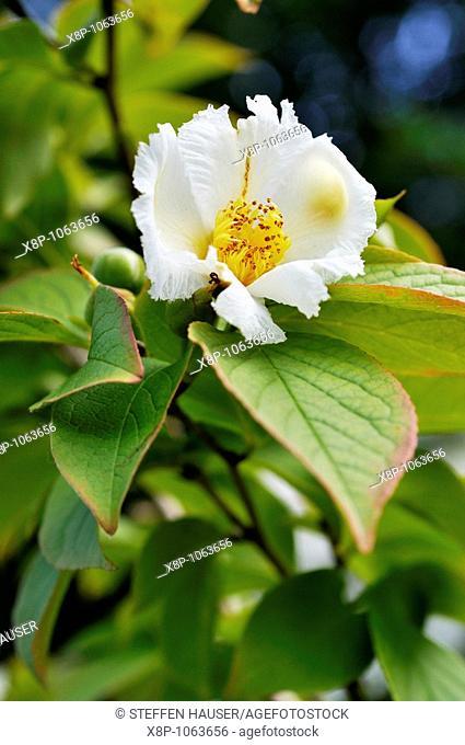 Japanese stewartia Stewartia pseudocamellia