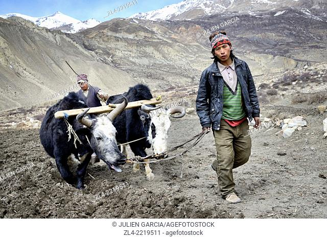 Farmers ploughing a field with yaks. Nepal, Gandaki, Upper Mustang (near the border with Tibet)