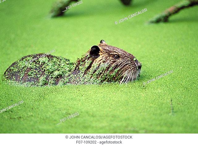 South American Nutria (Myocastor coypus). Louisiana, USA