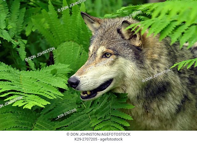 Gray wolf (Canis lupus} Captive raised adult, Minnesota Wildlife Connection, Sandstone, Minnesota, USA