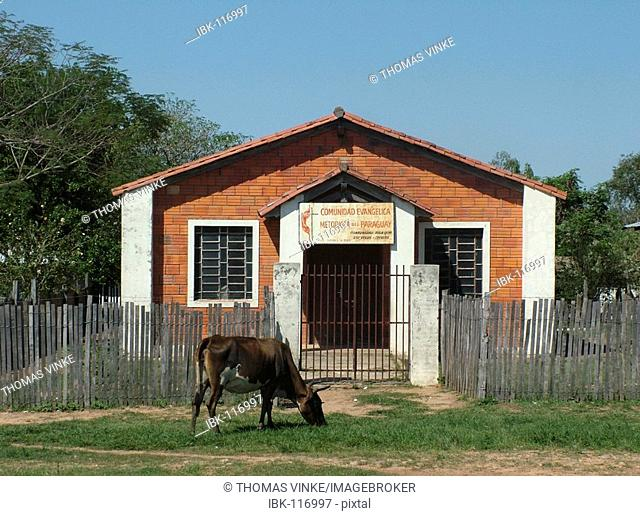 Cow feeding on grass in front of a tiny Methodist?s church suburb of Asuncion, Paraguay