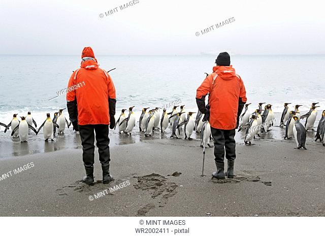 Two people looking at a small colony of King Penguins on a beach in South Georgia