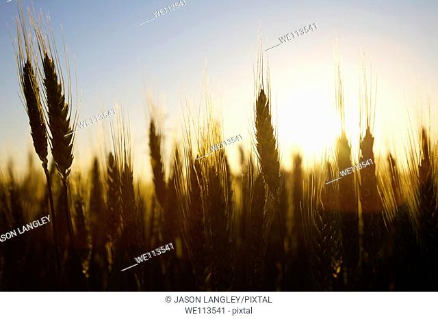 Wheat growing on a small organic farm in rural France in late spring  Backlit by the setting sun  La Creuse, Limousin, France