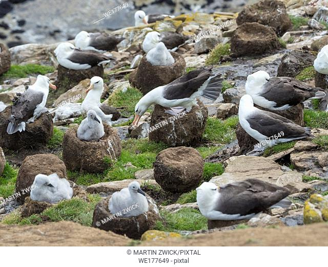 Colony with chicks on tower shaped nest. Black-browed albatross or black-browed mollymawk (Thalassarche melanophris). South America, Falkland Islands, January
