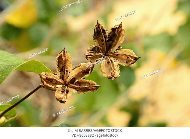 Sea hibiscus or cottonwood hibiscus (Talipariti tiliaceum pernambucense or Hibiscus tiliaceus) is a tree native to Australia