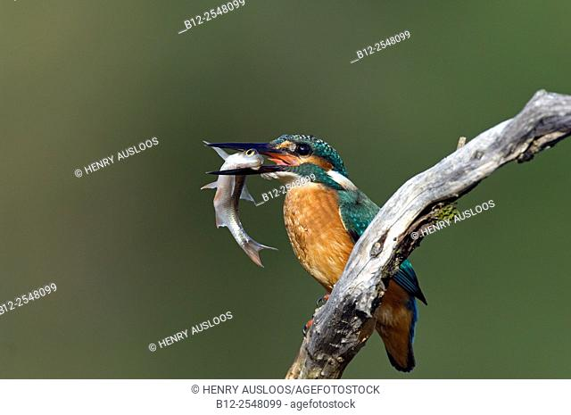 Common kingfisher (Alcedo atthis), with fish, France