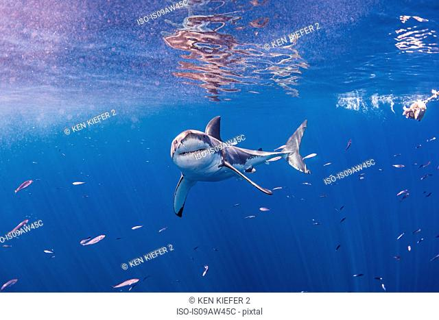 Underwater front view of great white shark looking at camera