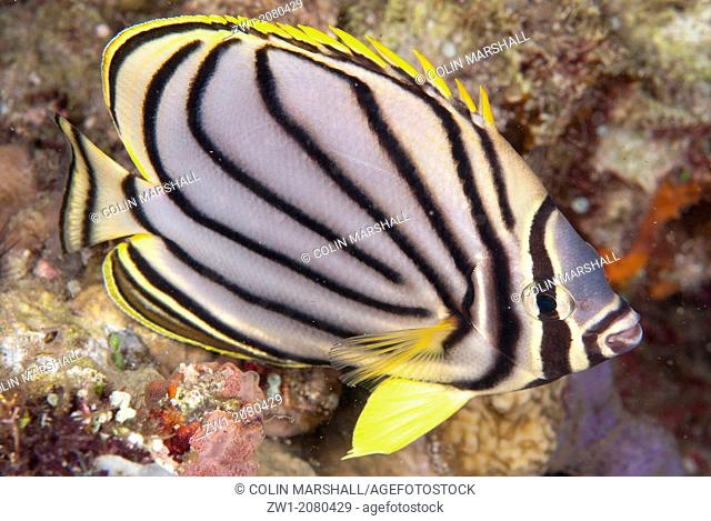 Meyer's Butterflyfish (Chaetodon meyersi) near Alor in Indonesia