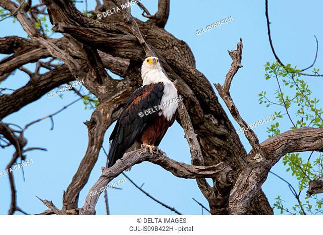African fish eagle (Haliaeetus vocifer) perched in bare tree, Savuti marsh, Chobe National Park, Botswana