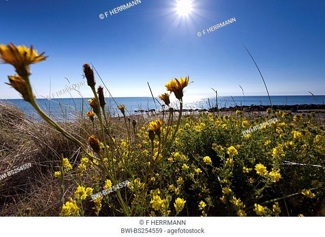 Sickle alfalfa, Sickle medick, Yellow lucerne, Yellow-flowered alfalfa Medicago falcata, Medicago sativa ssp. falcata, blooming at the coast, Germany, Hiddensee
