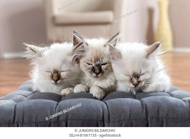 Sacred cat of Burma. Three kittens sleeping on a cushion. Germany
