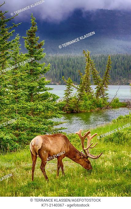A bull elk grazing along the roadside in Jasper National Park, Alberta, Canada